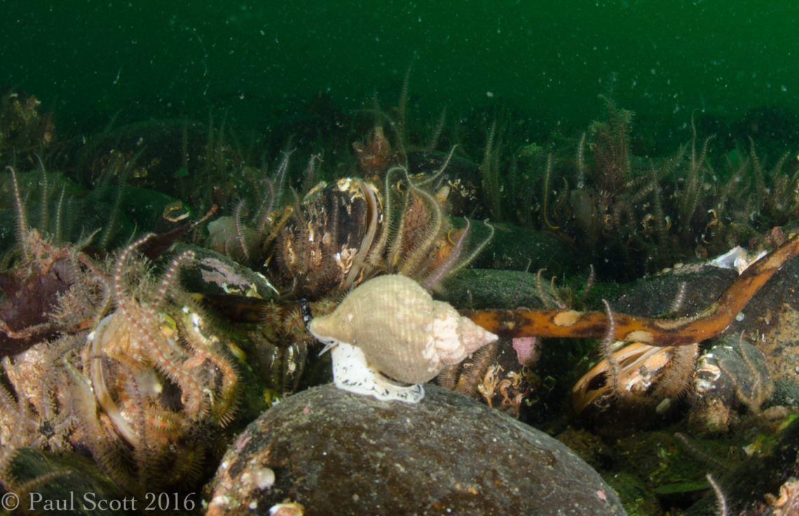 Common Whelk - Buccinum undatum 13 Steps Loch Creran