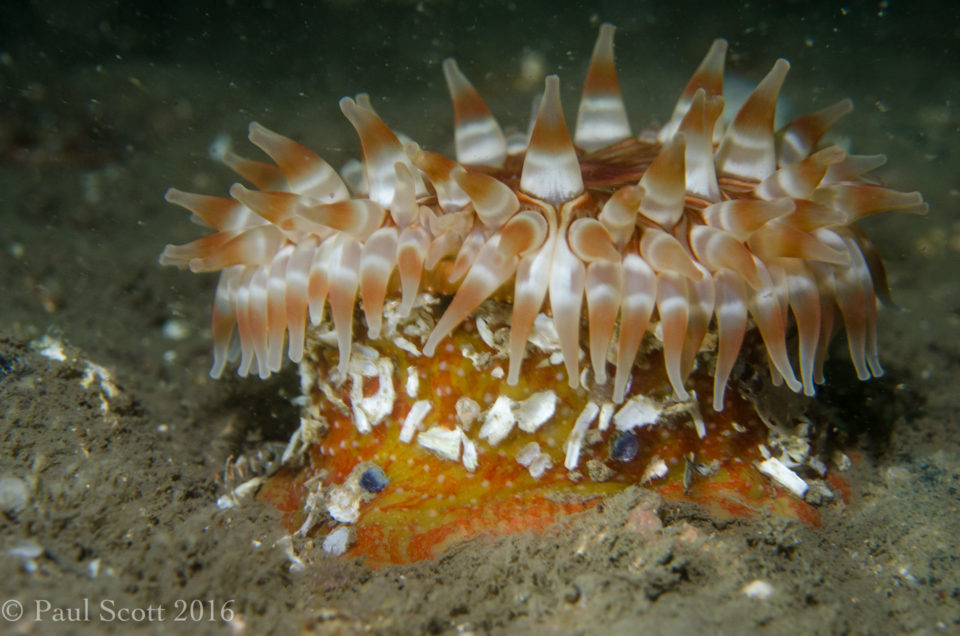 Urticina felina Dahlia anemone Bass Rock
