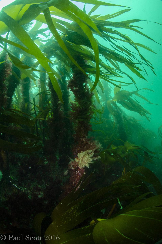 Forest kelp - Laminaria hyperborea on the Bo Fascadale Pinnacle
