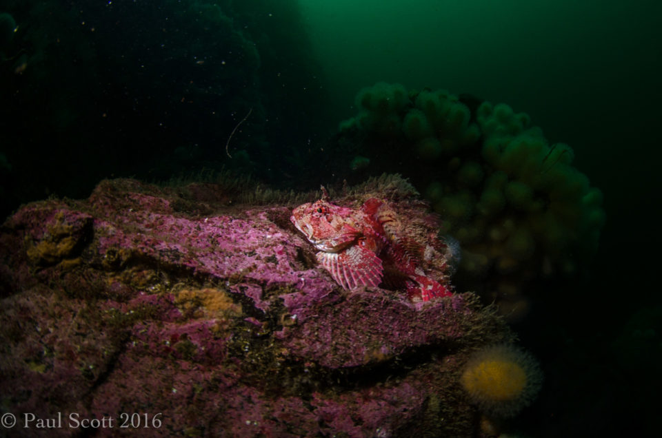 Scorpion Fish Camas Mor - isle of Muck