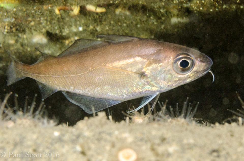 Poor Cod Trisopterus minutus