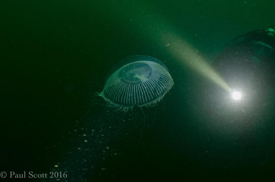 Aequorea victoria - Crystal Jellyfish