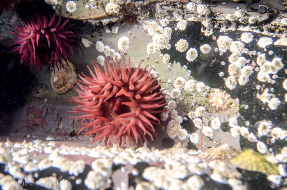 Actinia equina Beadlet anemones