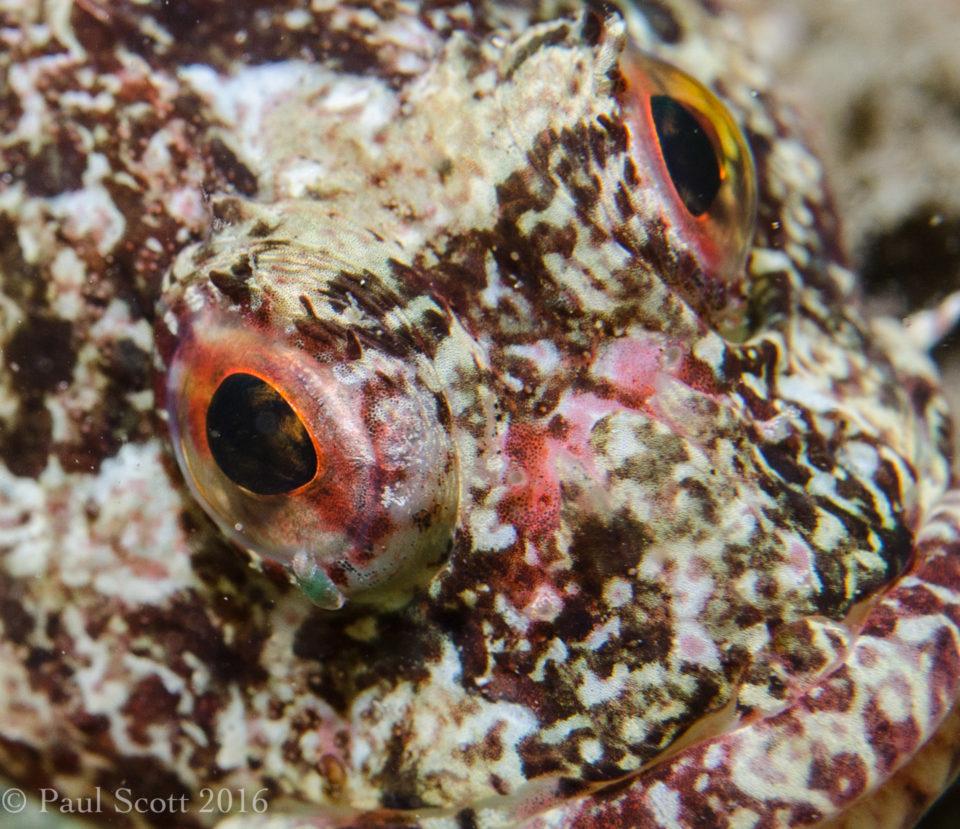 Short Spined Sea Scorpion Myoxocephalus scorpius