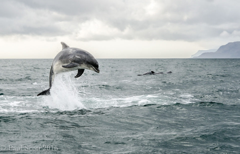 Bottlenose Dolphins Firth of Lorn