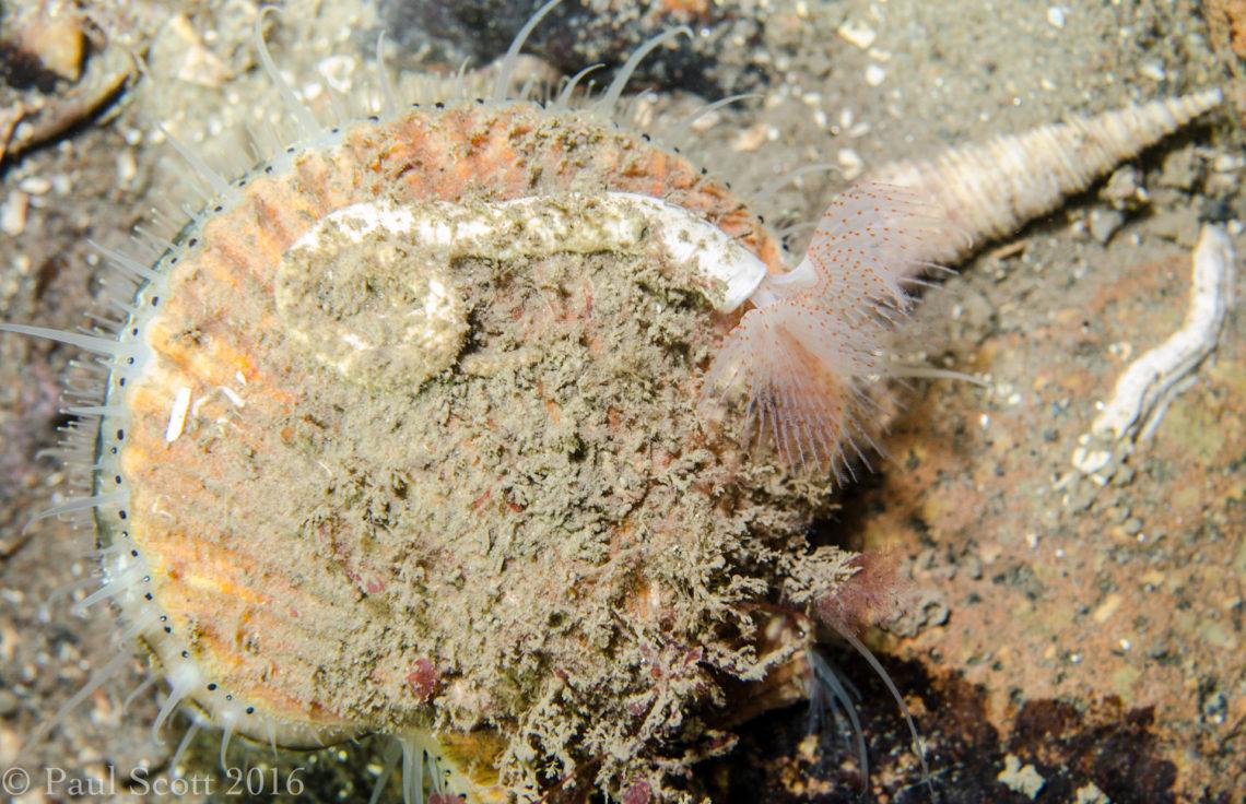 Queen Scallop and Peacock Worm Kentallen Pier Loch Linnhe