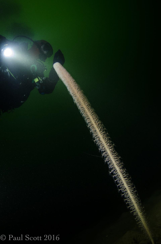 Funiculina quadrangularis - Tall sea pen