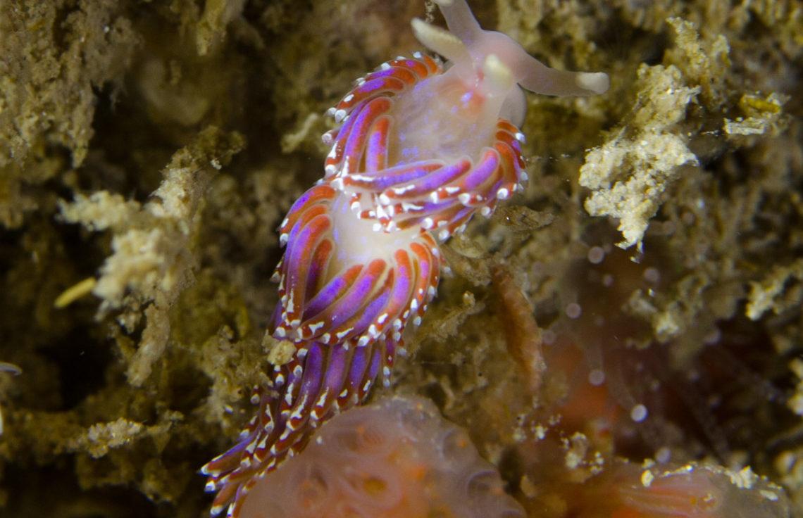 Sea Slug - Facelina auriculata Foul Ground Portstewart Northern Ireland