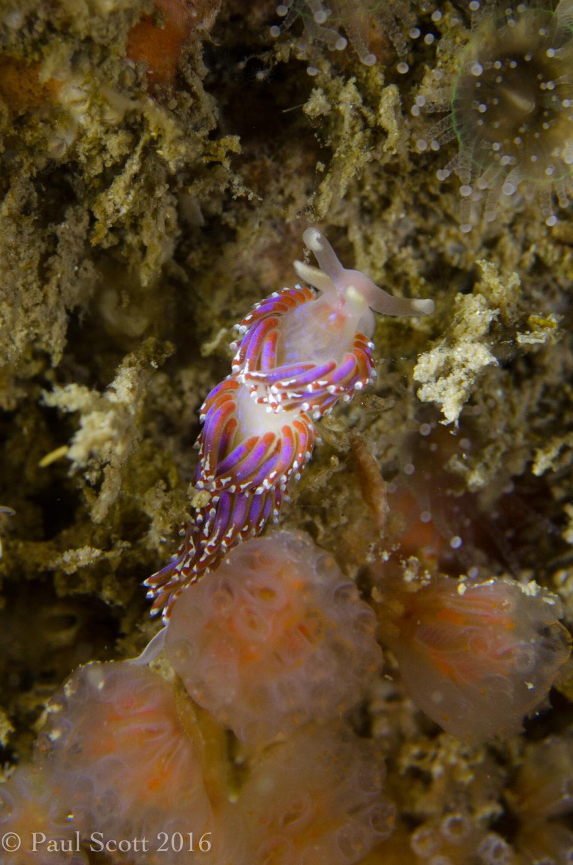 Sea Slug - Facelina auriculata
