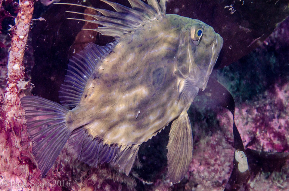 John Dory - Zeus faber - Calbha Beag, Badcall Islands