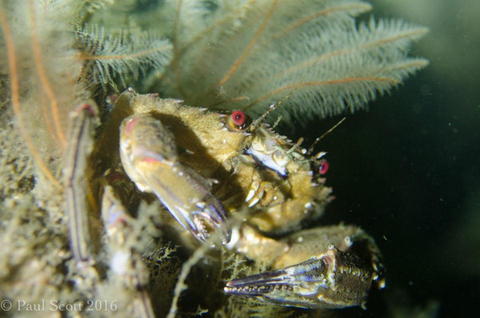 Decorator Crab, Portstewart Northern Ireland