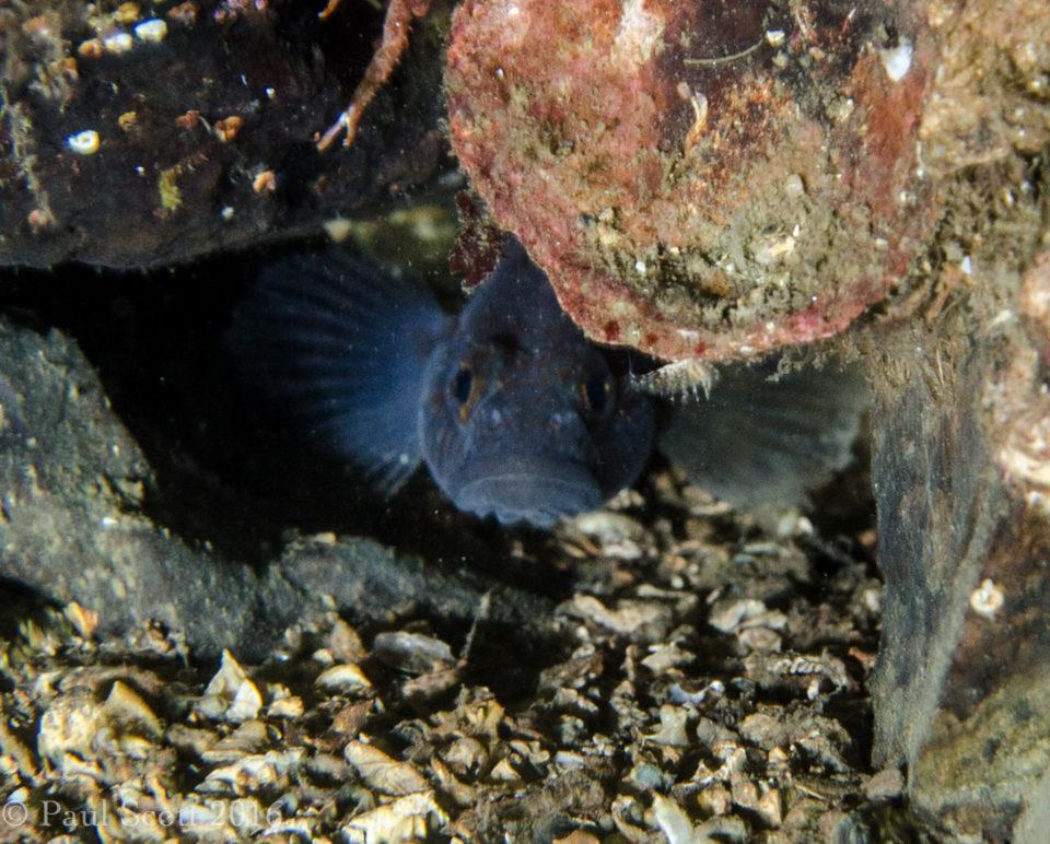 Black Goby - Gobiidae