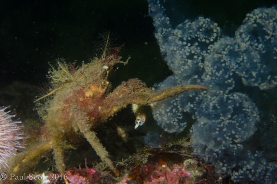 Hyas coarctatus feeding on jellyfish