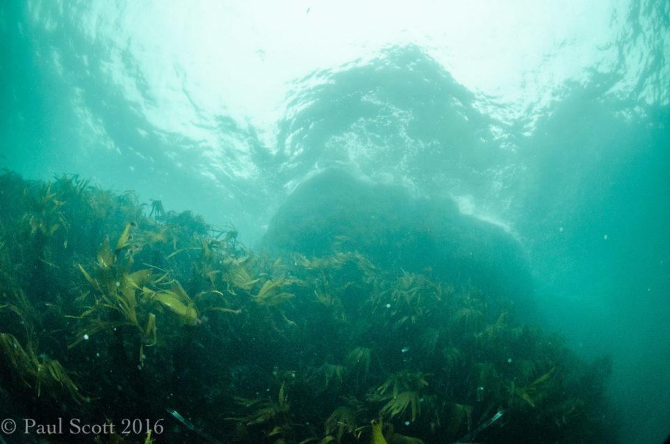 Forest kelp - Laminaria hyperborea Handa Island