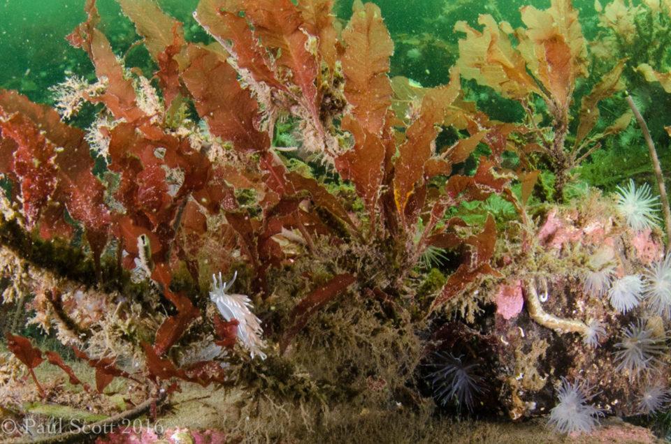 Sea Oak Phycodrys (Red Seaweed)