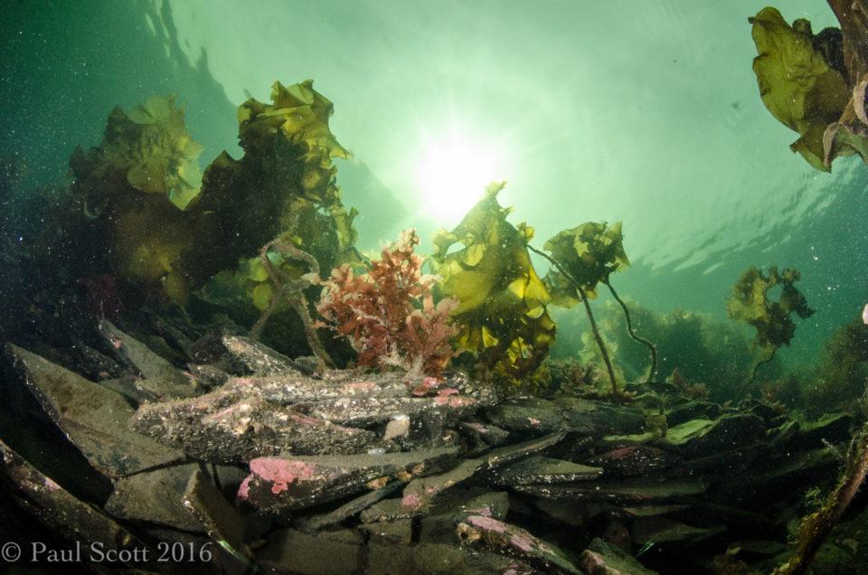 Sea Oak Phycodrys (Red Seaweed) and Laminaria latissima (Sugar Kelp)