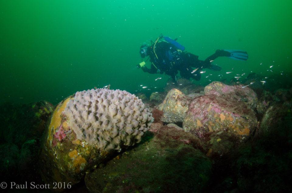 Encrusting Sponge