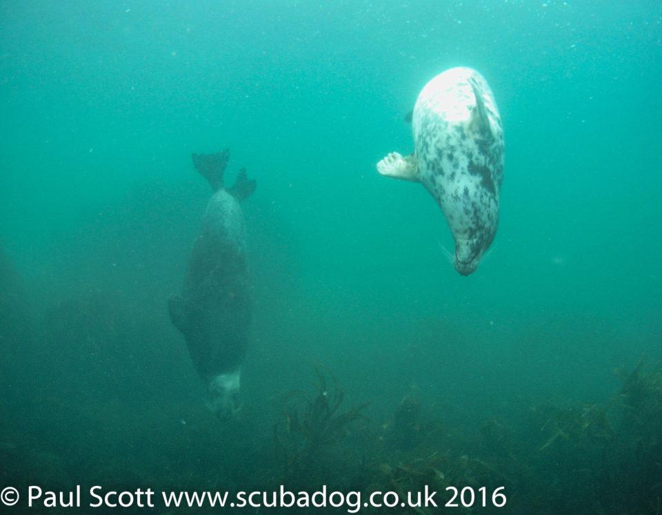 Grey seals playing